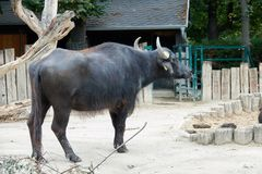 Big black buffalo in the zoo with a tag in ear Stock Photo