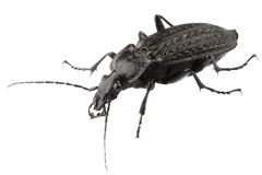 Big black bug Stock Images