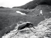 Big black bug on a stone in the mountains Royalty Free Stock Photography