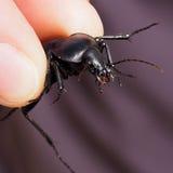 Big black bug Royalty Free Stock Photo