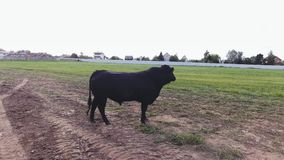 Big black bull is standing on ground of fenced pasture of modern farmland. Big black bull is standing free on ground of fenced pasture in area of large modern stock video