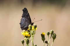 Big black butterfly on a yellow flower Stock Photo