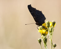 Big black butterfly on a yellow flower Royalty Free Stock Photo