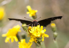 Big black butterfly on a yellow flower Stock Photography