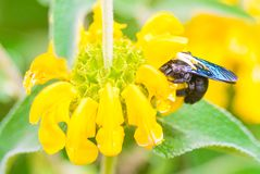 Black Carpenter Bee Royalty Free Stock Image