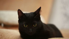 Big black cat laying on bed stock footage