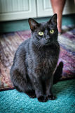 Big black cat sitting on the carpets and staring Stock Image