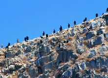 Big black cormorants Stock Images
