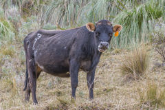 Big black cow Royalty Free Stock Photography