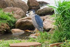 Night heron, Maui Tropical Plantation, Hawaii stock photos