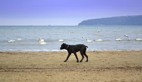 Big black dog on the beach Stock Images