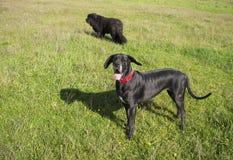 Great Dane dog smiling stock photo