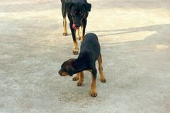 The big black dog is licking his mouth and biting the black little dog,Selective focus Stock Image
