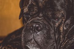 The big and black dog lies and has a rest. Breed of Kan Corso, French bulldog. Lovely and wrinkled muzzle. Pet. Big nose. royalty free stock image