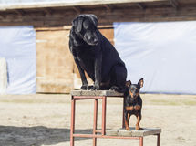 Big black dog and the little brown are standing Royalty Free Stock Images