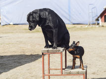 Big black dog and the little brown are standing Stock Image