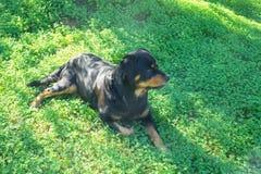 Big black dog lying on the green lawn. Warm sunny day. Big black dog lying on the green lawn. Sunny day Stock Photo