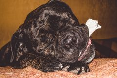 The big and black dog plays with a house stick. Breed of Kan Corso, French bulldog by nickname Lesya. Lovely pet. The big and black dog plays with a house stick royalty free stock photography