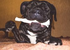 The big and black dog plays with a house stick. Breed of Kan Corso, French bulldog by nickname Lesya. Lovely pet. The big and black dog plays with a house stick stock photos