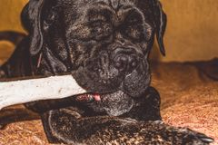The big and black dog plays with a house stick. Breed of Kan Corso, French bulldog by nickname Lesya. Lovely pet. The big and black dog plays with a house stick royalty free stock image