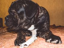 The big and black dog plays with a house stick. Breed of Kan Corso, French bulldog by nickname Lesya. Lovely pet. The big and black dog plays with a house stick stock photo