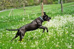 Big black dog, pure bred Cane Corso, jumping in the meadow royalty free stock photos
