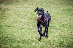 Big black dog run Royalty Free Stock Images
