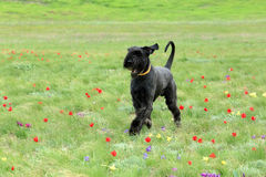 Big black dog runs on a blossoming tulip field in the steppe Stock Photo
