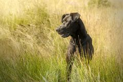 Big black dog sitting in the meadow stock photo