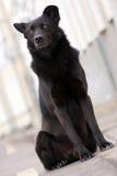 Big black dog sitting outdoors Royalty Free Stock Photos
