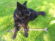 Big black dog with a stick on the grass. Beautiful dog holding a stick, lying on the fresh green grass Stock Photography