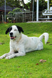 Big black dog with white spots sitting in park green grass. Stock Photos