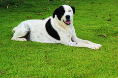 Big black dog with white spots sitting in park green grass. Royalty Free Stock Image