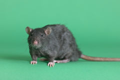 Big black domestic rat. On a green background Royalty Free Stock Images