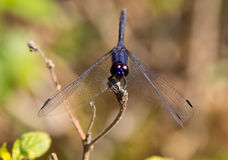 Big black dragonfly. Sits on a sunny day on the stem Royalty Free Stock Image