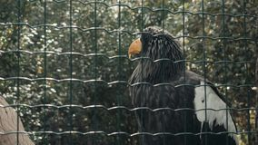 Big Black Eagle In Huge Cage Intended For Resting. Bird In Captive. 4K stock video footage