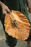 Big black Emperor scorpion Stock Photo