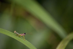 Big black eyed grasshopper in it's natural surroundings. Royalty Free Stock Images