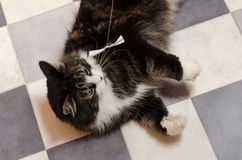 Big black fluffy cat lying on checkered black and white floor and looks at toy bow on string.  royalty free stock photography