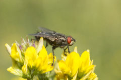 Big black fly with red eyes. Is sitting on the flowers stock image