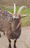 Big black goat. On a walk royalty free stock photos