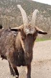 Big black goat. On a walk stock photos