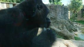 Gorilla. Big black gorilla stock photography