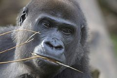 Big black Gorilla. Portrait of a  lowland gorilla with a twig in its mouth Royalty Free Stock Photography