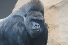 Big black hairy gorilla Stock Photography