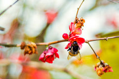 Big black hornet on red flower at sunset on spring sunny day royalty free stock image