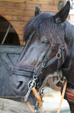 Big Black Horse while sleeping Stock Images