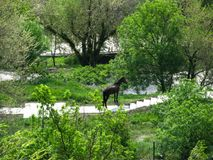 Big black horse stands alone among the trees covered with fresh green foliage royalty free stock photo