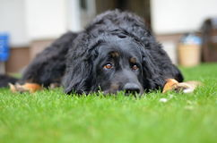 Big black howavart dog. In garden Stock Photo
