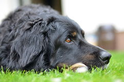 Big black howavart dog. In garden Stock Image